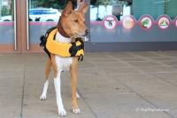 FOTO – plovací vesta pro psy od EZYDOG s unikátní vztlakovou pěnou, reflexními prvky a pohodlnou a promyšlenou konstrukcí, žlutá (6).
