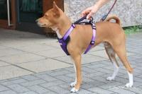 Postroj pro psy značky ForMyDogs v zářivě fialové barvě. Pevný odolný materiál, polstrování na hrudníku, bezpečnostní reflexní prvky (5).