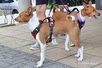 Postroj pro psy značky ForMyDogs v černo-červené barvě. Pevný odolný materiál, polstrování na hrudníku, bezpečnostní reflexní prvky (1).