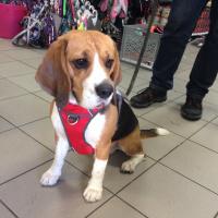 Nastavitelný postroj pro psy od RED DINGO vhodný pro každodenní používání díky podšívce z jemného flísu. Foto zákazníků. (2)