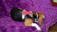 Nastavitelný postroj pro psy od RED DINGO vhodný pro každodenní používání díky podšívce z jemného flísu. Foto zákazníků. (6)