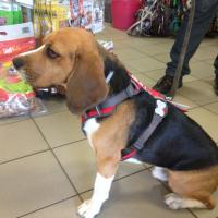 Nastavitelný postroj pro psy od RED DINGO vhodný pro každodenní používání díky podšívce z jemného flísu. Foto zákazníků.