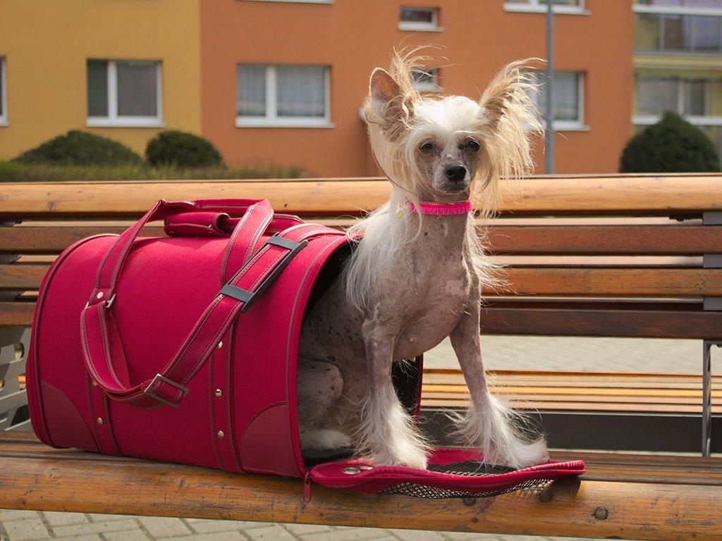 Čínský chocholatý pes v červené tašce na psy